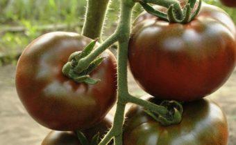 лучшие черные помидоры