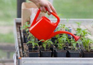 Вянут листья у рассады томатов – что делать, чтобы спасти урожай?