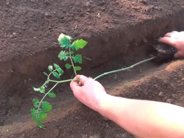 рассада томатов тонкая и длинная