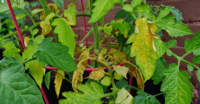 сохнут и желтеют листья у рассады