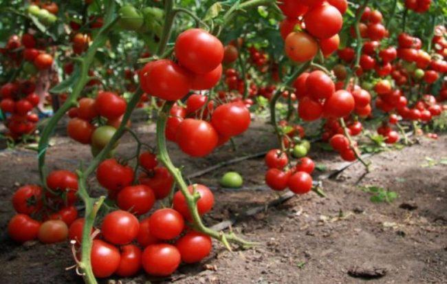 сладкие сорта томатов