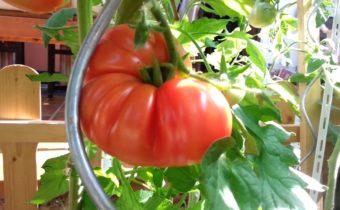 помидоры гиганты устойчивые к фитофторозу
