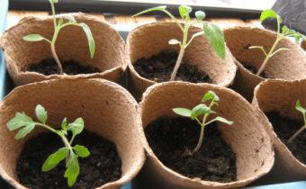 рассада томатов в горшочках