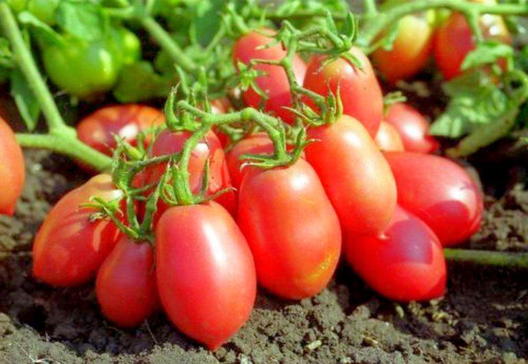 Лучшие сорта томатов для теплиц в ленинградской