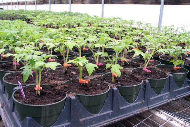 сажать томаты в апреле