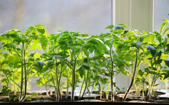 когда пересаживать томаты посеянные в апреле