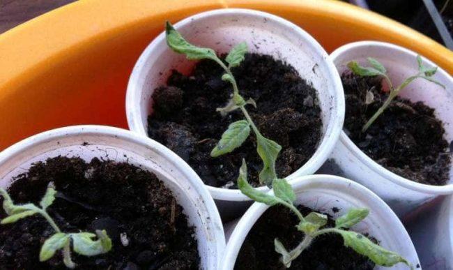 Почему у рассады помидор верхушка засохла