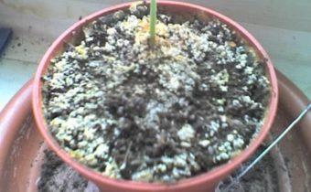 Белый налет на почве комнатных растений