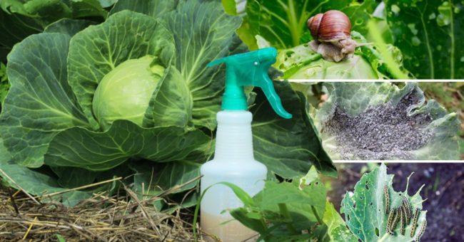 опрыскивание капусты
