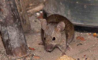 мыши в дачном доме