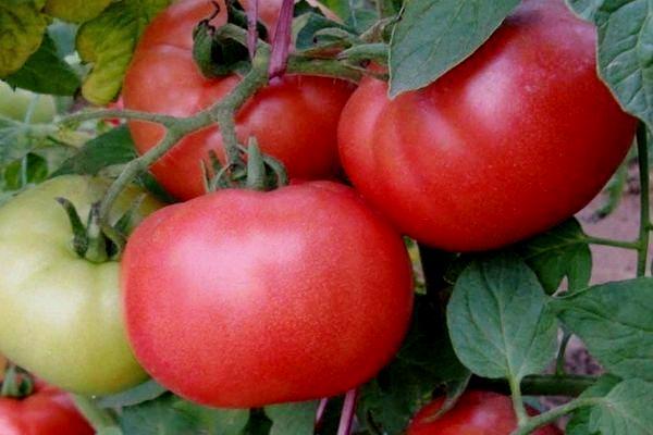 tomat-vesna