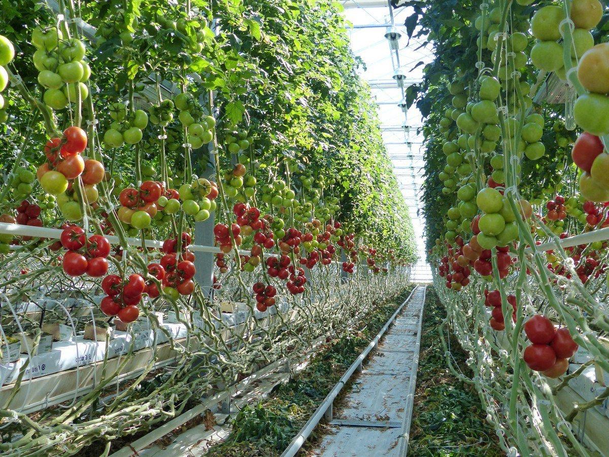 ранние урожайные сорта томатов для теплиц