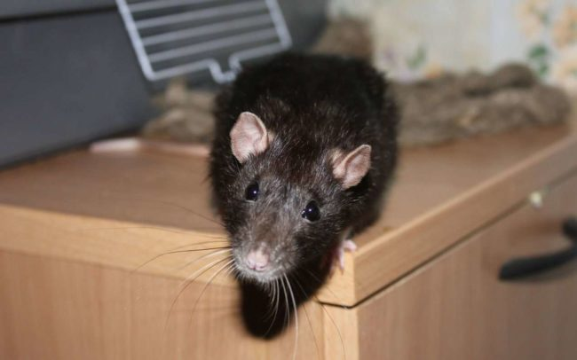Как избавиться от крыс в курятнике раз и навсегда: эффективные методы борьбы с грызунами