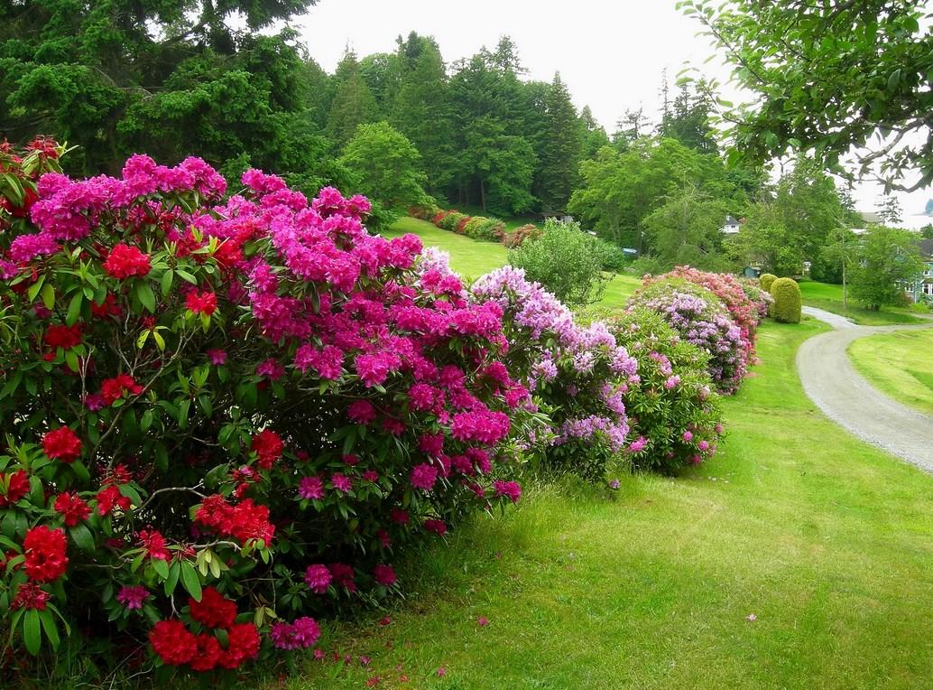 Морозостойкие цветущие кустарники