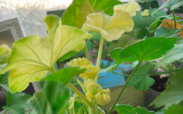 zheltye listya gerani
