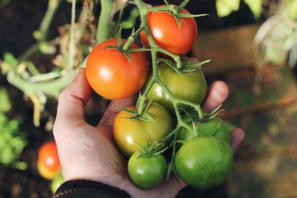 nedozrevshie pomidory