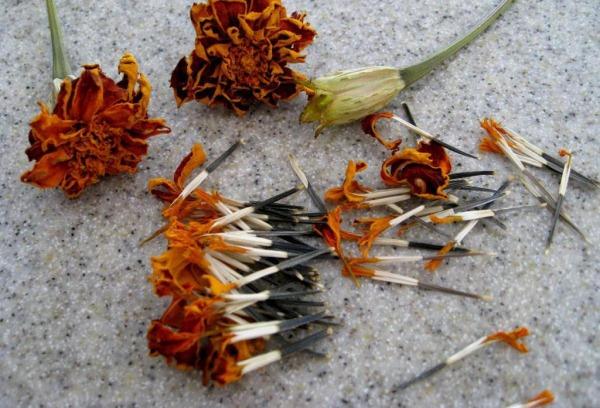 semena barhatcev