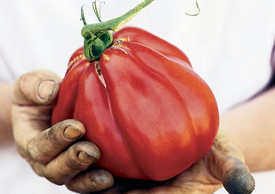 tomat kuneo