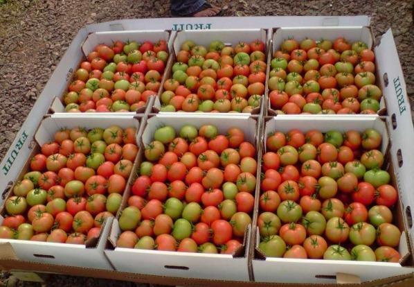 zelenye tomaty