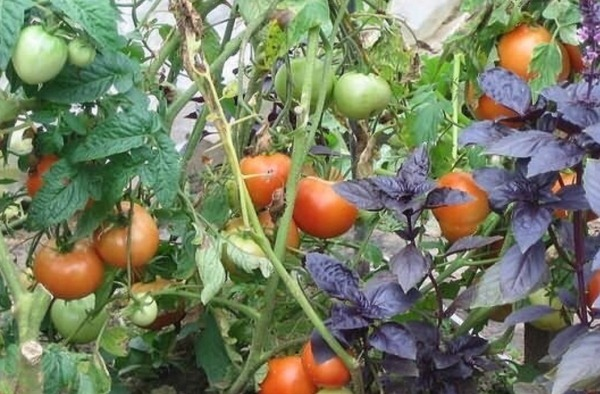 bazilik i tomat