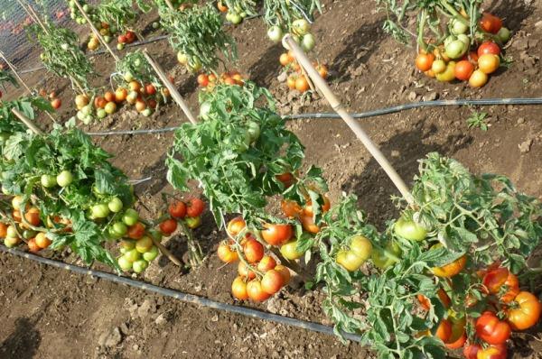 grjadki tomatov