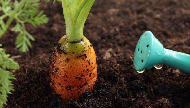 kak-pravilno-polivat-morkov
