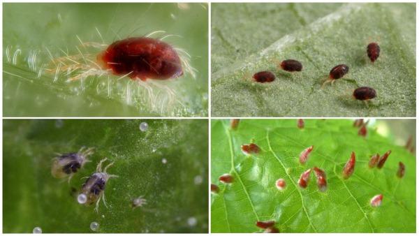 parazity