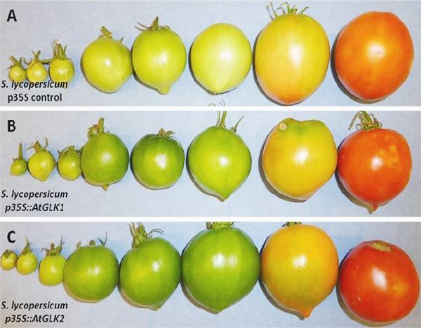 plod tomata