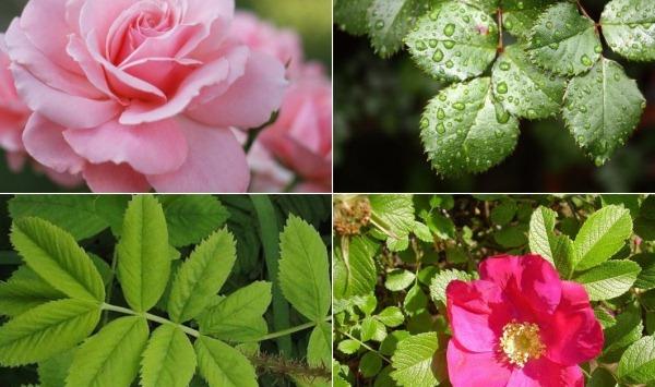 roza i shipovnik