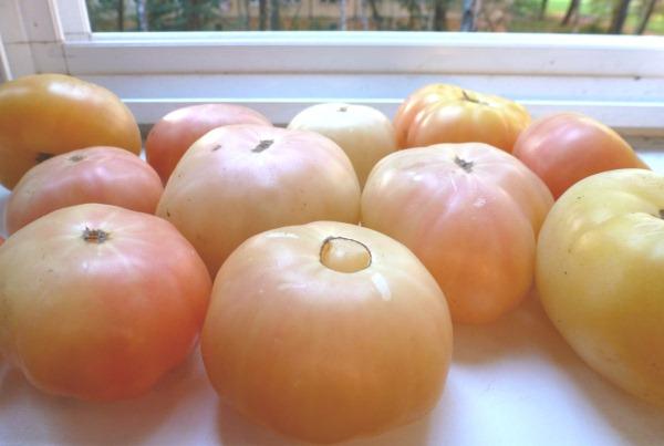 tomat lebedinaja pesnja