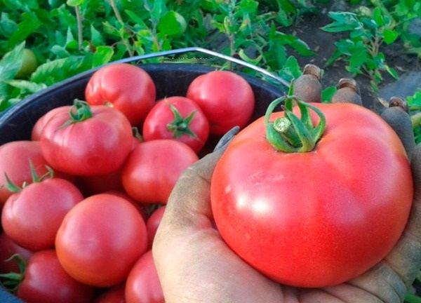 zrelyj tomat