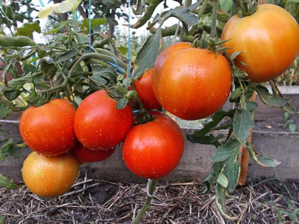 Низкорослые помидоры на вашем участке: как правильно выращивать томаты