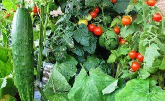 Считаем огурцы и помидоры: как прокормить семью огородом