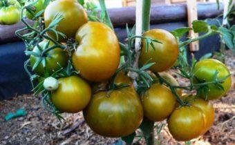 Зеленые, но спелые: способы выращивания зеленоплодных томатов