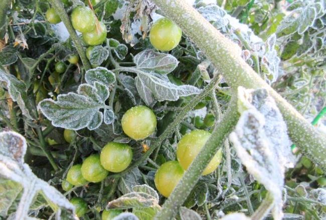 pomidory zamorozki
