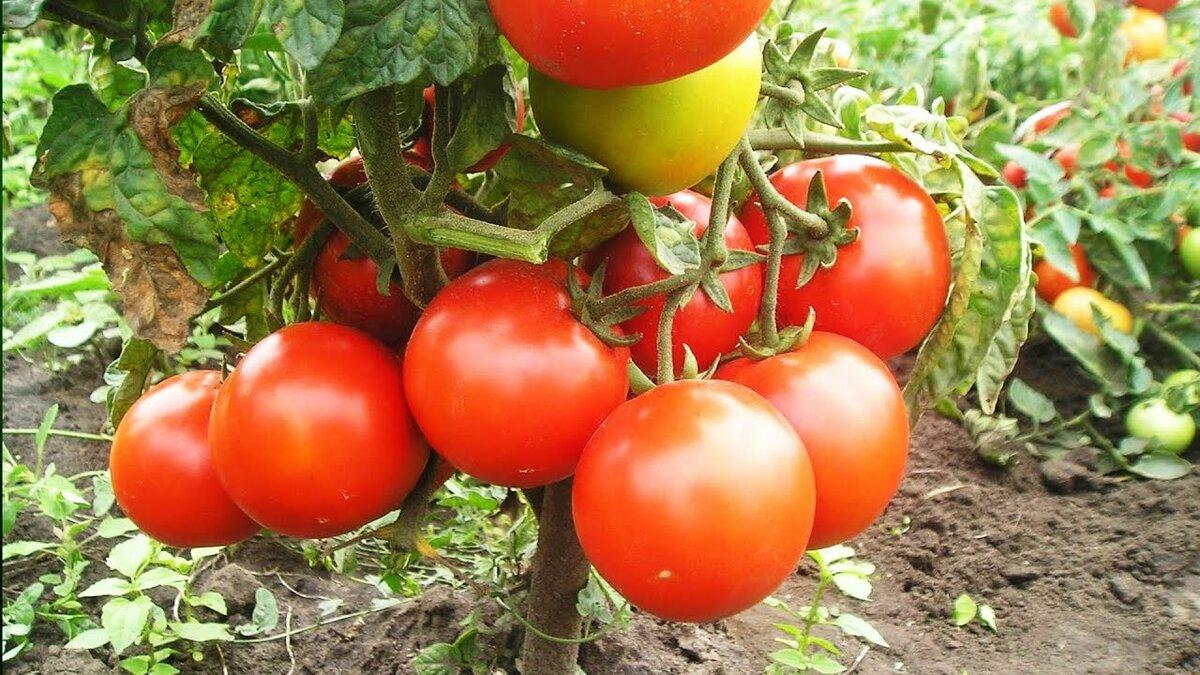 томаты по Маслову