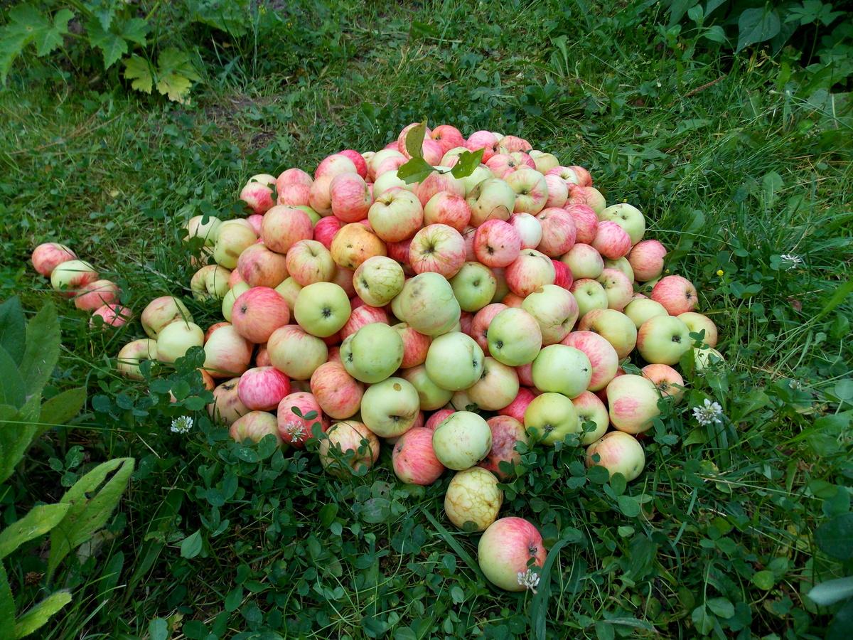 Как можно использовать падалицу яблок в качестве подкормки