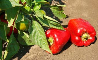 Причины снижения урожайности у перцев