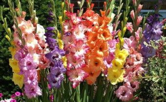 gladiolusy cvetut