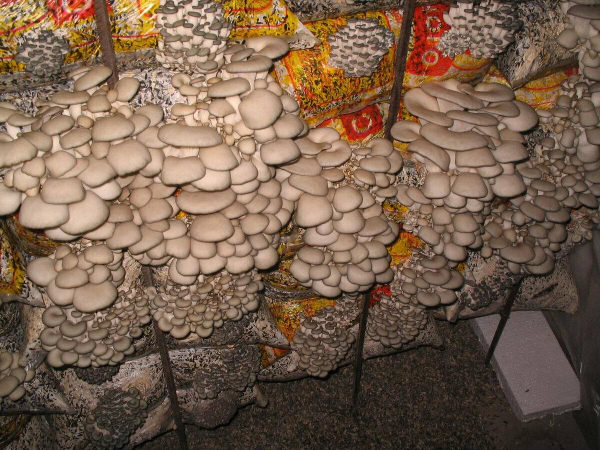 грибы в подвале