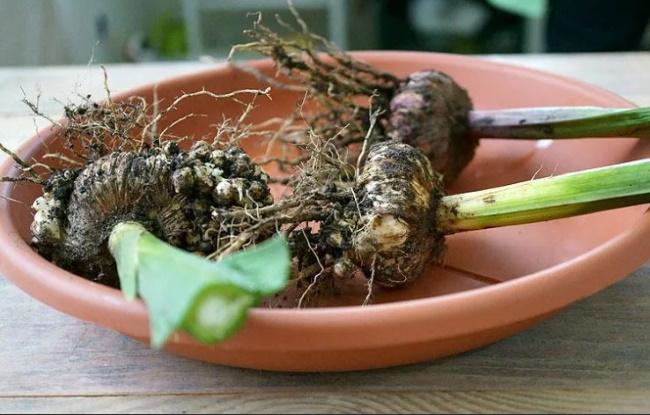 obrezannye gladiolusy