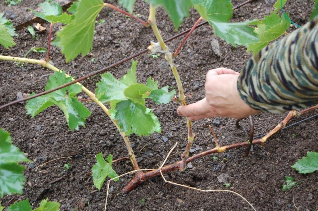 Обрезка винограда перед зимой