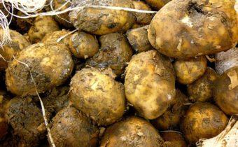 Причины гниения картофеля в погребе