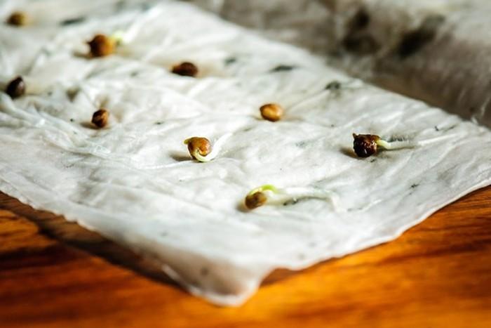 Проверяем семена на всхожесть: основные способы