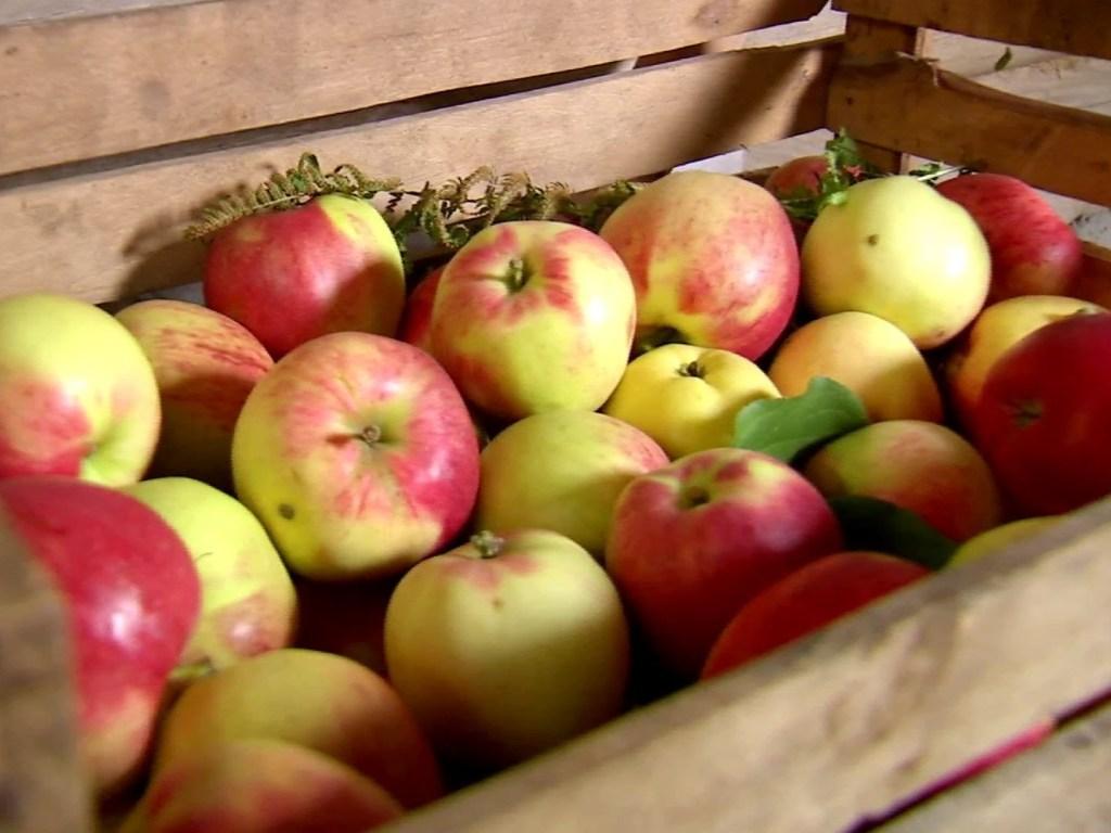 Правила сбора зимних яблок для хранения