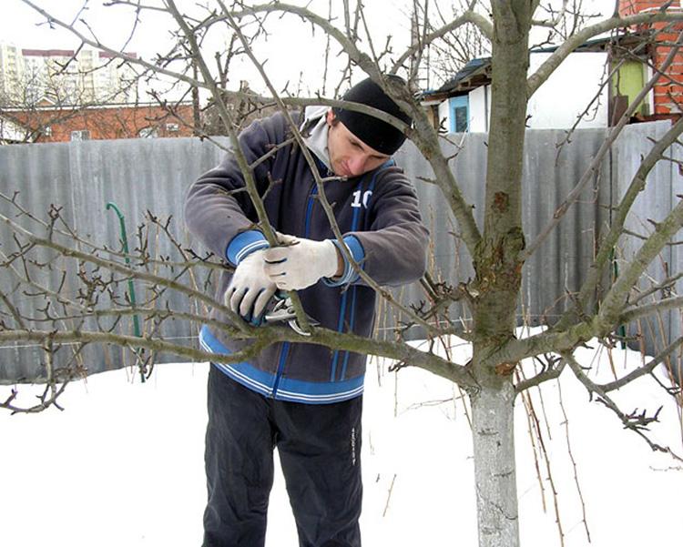 Основные причины спилить старые деревья зимой