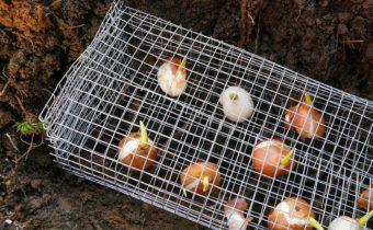 Способы защиты луковичных цветов от грызунов