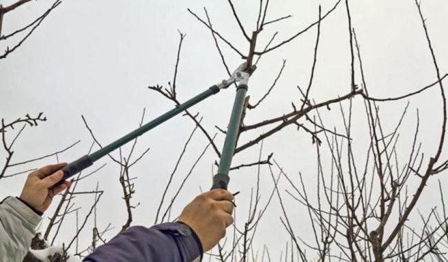 правила зимней обрезки деревьев