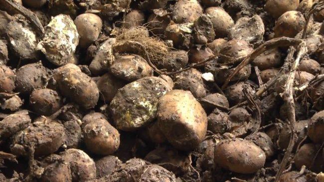 почему портится картошка
