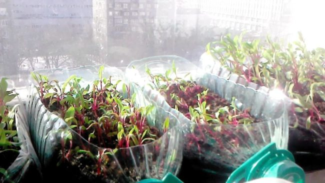 выращивание рассады в пластиковых бутылках